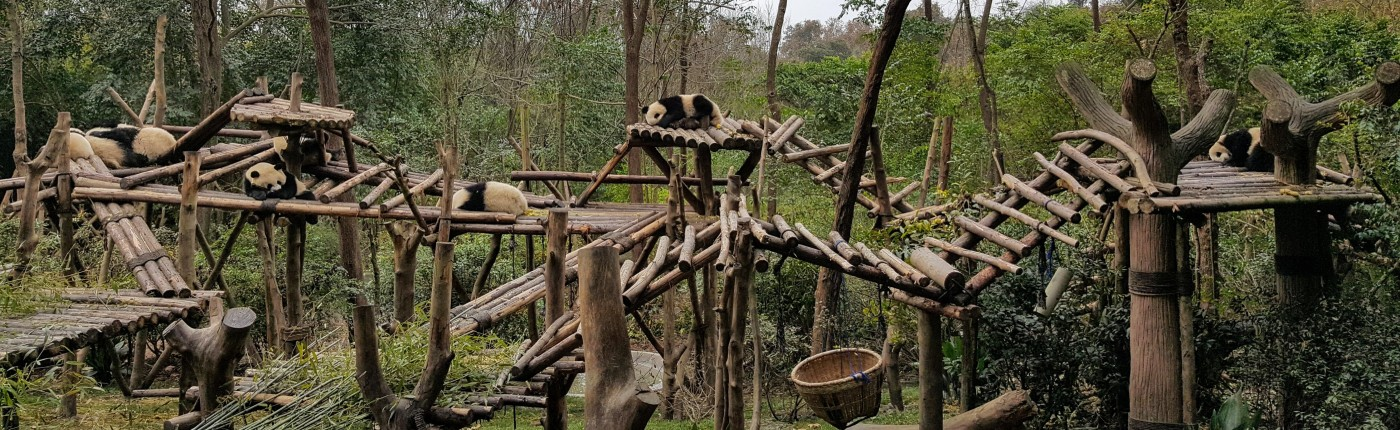 six young pandas sleeping on a wooden jungle gym