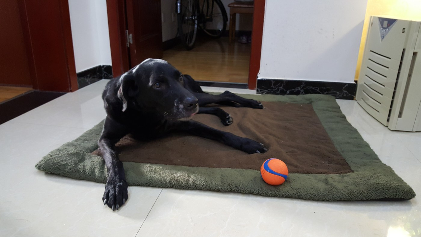 elderly black lab lying down on a brown and green doggy bed with her orange and blue call